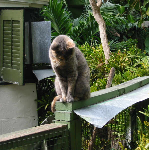 Hemingway six toed polydactyl Cats