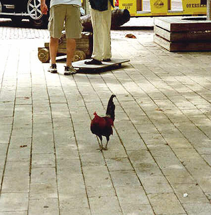 Chickens and Roosters wander Key West