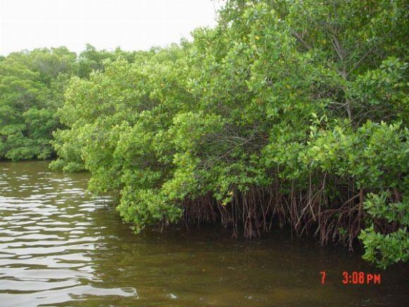 Mangroves Sanibel Island Florida