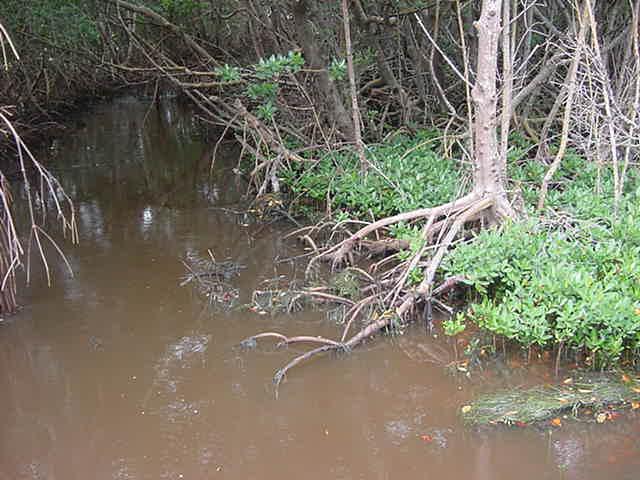 Mangroves Sanibel Island Florida
